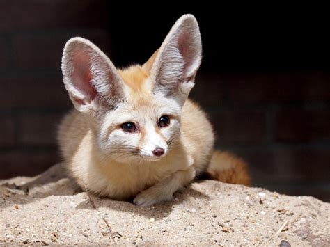 Important Things to Know Before Getting a Fennec Fox as a