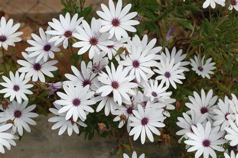 African Daisy care, propagation, requirements, tips and