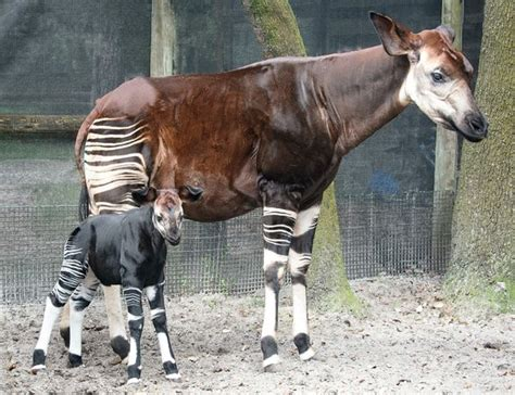 A Star Is Born - With Stripes! - ZooBorns