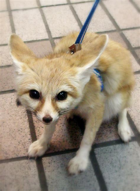 Is Zootopia Creating Demand for Pet Fennec Foxes in China