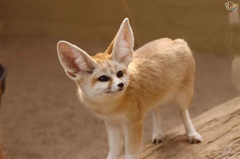 Can you keep a fennec fox in the UK as a pet? | Pets4Homes