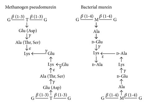 Comparison of the composition of pseudomurein and murein