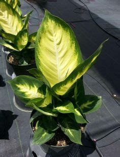 """Dieffenbachia """"Sterling""""   Plants, Easy care indoor plants"""