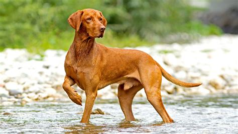 7 Things You Didn't Know about the Hungarian Vizsla