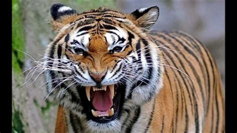 North Bengal Tiger - the 2nd Largest and Strongest Tiger