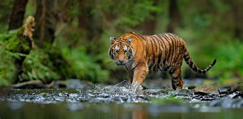 Tigers confirmed as six subspecies, and that is a big deal