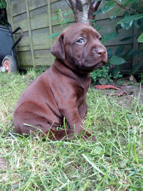 HUNGARIAN VIZSLADOR PUPPIES - ALL NOW RESERVED
