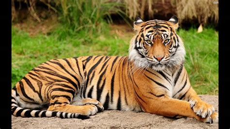 Royal Bengal Tiger Picture Only For Kids - YouTube